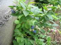 Berry_002